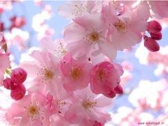 flores-de-cerezo